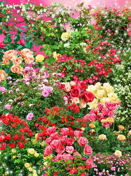 PSD исходник - Клипарт - Кусты прекрасных роз